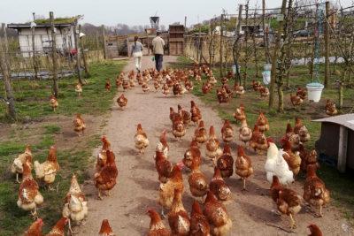 Fruittuin van West Amsterdam Onze Dieren Kippen